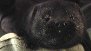 Mörkbrun mink som tittar in i kameran.