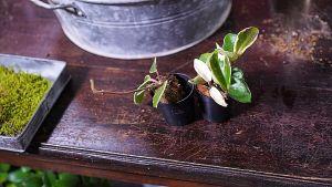 Pöydällä oleva kasvi.