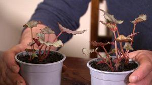 Två plantor.