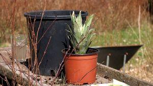 En ananasplanta.