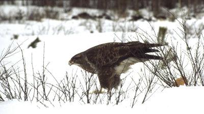 Hiirihaukka maassa talvella