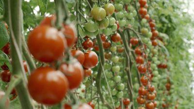 är det farligt att äta gröna tomater