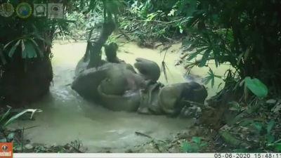 Noshörning ( Rhinocerus sondaicus) njuter av gyttjebad på Java i Indonesien