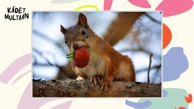 Orava istuu puunoksalla mansikka suussaan.
