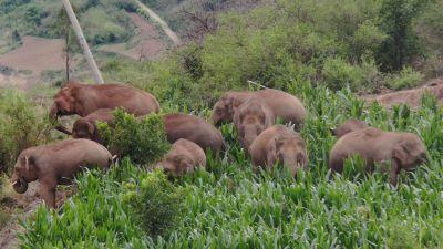 Elefanter som betar.