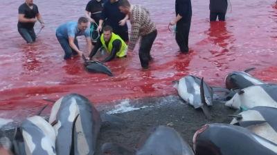 Blodigt vatten och män som håller i en delfin som de försöker slakta.