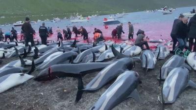 Slaktade delfiner som ligger uppradade på en strand. Människor i bakgrunden vid strandkanten som håller på att slakta delfiner i rött vatten.