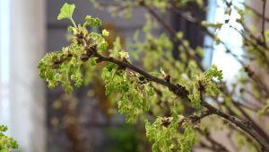 Kvistar av röda vinbär som har bildat blomknoppar. Kvistarna har tagits inomhus för dekoration.