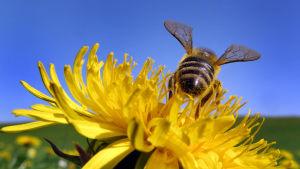 Närbild på ett bi som har landat i en knallgul maskros.