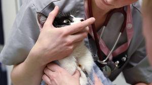 veterinär håller i katt samtidigt som annan vårdare tar blodprov från kattens hals.