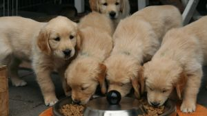 Fem Golden Retriever hundvalpar