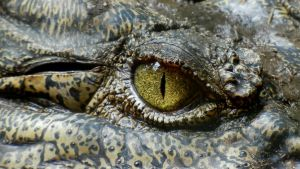 krokotiilin silmä elk
