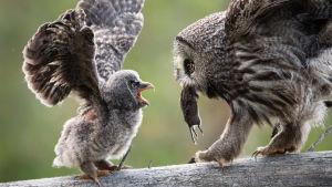 Lapinpöllö ruokkii poikastaan hiirellä.