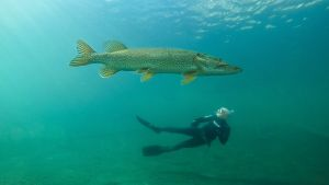 Hauki ja sukeltaja ovat samassa kuvassa kirkkaassa vedessä. Noin kolmikiloinen hauki on kuvassa etualalla, joten se näyttää kokoistaan suuremmalta.