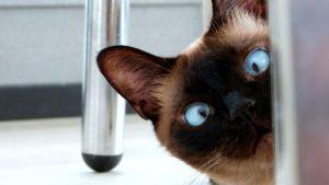 En katt med blå ögon tittar fram bakom ett stolsben.