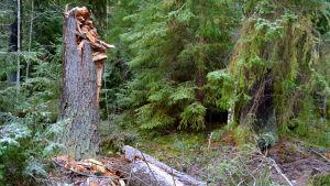 Knäckt träd