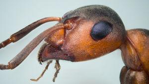 Muurahainen hyvin läheltä kuvattuna.