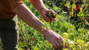 Mies poimii vihanneksia