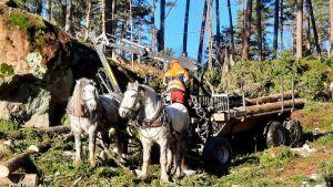 Hästar i skogsarbete i Folkparken i Kokon i Borgå