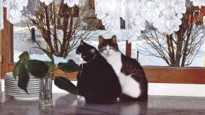 Mustavalkoinen kissa nimeltään Neiti Nyytinen ja kaverikissa.