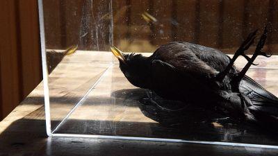 död svart fågel i vitrin