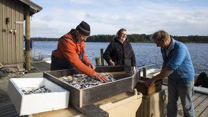 Henrik, Johanna och Jörgen Kjellgren sorterar fisk.