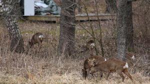 Rådjur står och betar gräs i en skogsdunge. I bakgrunden ser man delvis en terass.