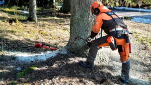 Skogsarbetare fäller träd