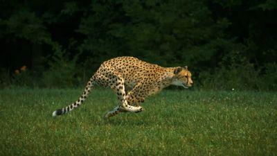 Springande gepard.