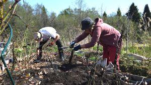 Två personer som står och gräver i en rosenrabatt på våren.
