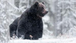 Karhu lumisatessa metsässä.