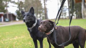 Jaska- ja Maisu koira nautiskelevat ulkoilmasta.