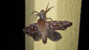 Kuvalliset kysymykset: Perhonen hämähäkin saaliina