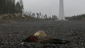 En avhuggen örn ligger på marken framför vindkraftverk.