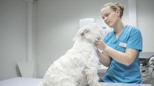 Eläinlääkäri tutkii koiraa