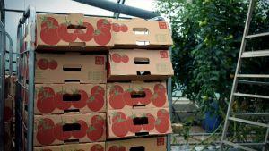 Tomatlådor i staplar inne i växthuset.
