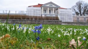 Blåa och vita vårblommor på gräsmattan framför den ståtliga vita huvudbyggnaden på Söderlångvik gård.