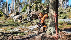 Skogsavverkning i parkskogen i Kokon, Borgå