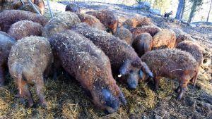 Ulliga grisar står i sin hage och äter hö.