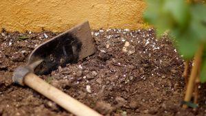 En gräfta (en sorts spade) som ligger på marken, på jord.