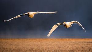 Kaksi joutsenta lentää taivaalla