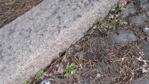 katukivetys ja havunneulasia