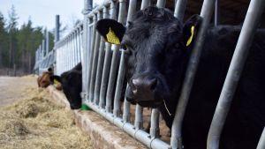 En svart dexterko tittar på kameran, i bakgrunden foderbord och ytterligare några kor som äter.