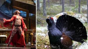 Kuva on jaettu kahteen osaan. Kuvan vasemmassa puoliskossa Don Giovanni ja oikealla puolella soitimella oleva metsokukko.