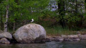 Sällsynt måsart i Päijänne nationalpark