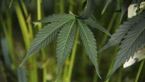 Spotlight: Cannabis som botar?