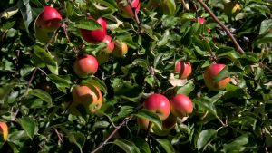 Äppelträd på Benvik gård i Närpes.