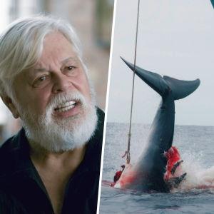 Kollage med miljöaktivisten Paul Watson samt en blodig död val som hissas upp i ett skepp.