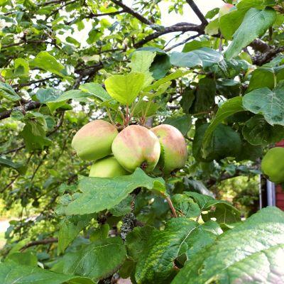 Fyra äpplen på en kvist.