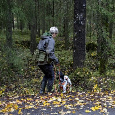 Tanja Karpela työskentelee koiransa kanssa metsässä ja etsii liito-oravan hajua.